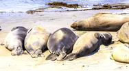 Hugging young male sea lions at the sandy beach relax Stock Photos