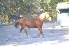 Chestnut mare - stock photo