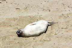 sealion  relaxes and sleeps at the sandy beach - stock photo