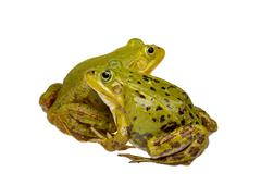 two frogs - stock photo