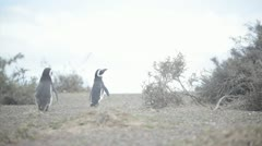 Magellan penguins Stock Footage