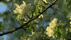 White crabapple flowers 3 Stock Footage