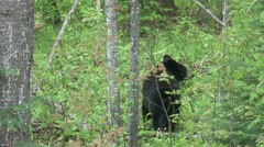 Stock Video Footage of Black Bear in Spring