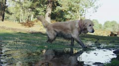 Friendly working dog emerging from the water and giving herself a good shake Stock Footage