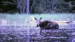 MOOSE in FOREST Wetlands Vintage 8mm Film Home Movie 6385 Stock Footage