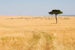 Stock Photo of wide savannah in masai mara national reserve