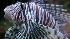 Lionfish (Pterois volitans) Stock Footage