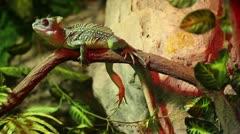 Green Basilisk Lizard (Basiliscus plumifrons) Stock Footage
