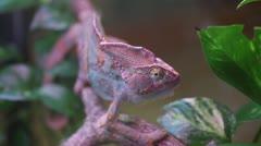 Chameleon (Chameleo Calyptratus) move - stock footage