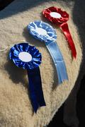 cattle prizes - stock photo