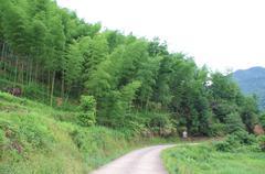 Stock Photo of bamboos field at the foot of mountain at china