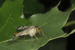 Common scorpionfly (panorpa communis) Stock Photos