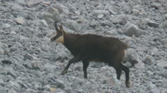 Chamois Stock Footage