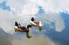 ducks on the lake of chinese countryside - stock photo