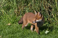 Red fox (vulpes vulpes canidae) Stock Photos