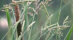 Cattail Swaying Stock Footage