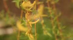 Blooming Catkin. Rack focus in the front. Stock Footage