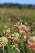blooming alsike clover (trifolium hybridum) - stock photo