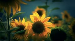 Big sunflowers Stock Footage