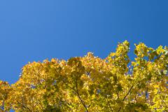 yellow maple leaves against clear blue sky - stock photo