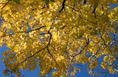 yellow maple leaves against blue sky - stock photo