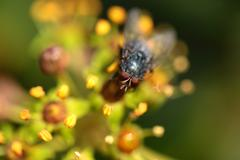 Housefly aka house fly over natural background, musca domestica Stock Photos