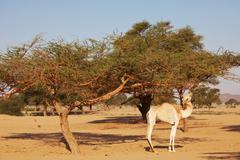 Kameli Kuvituskuvat