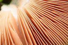 close up of underside of parasol mushroom with gills - stock photo