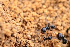 Soldier ant formica in macro Stock Photos