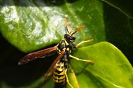 Stock Photo of closeup of large wasp natural background