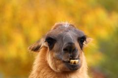 Stock Photo of llama showing its teeht
