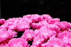 bouquet of pink chrysanthemum - stock photo