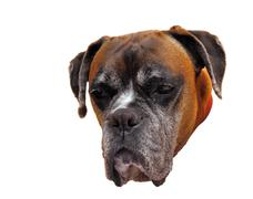 Boxer portrait isolated on white Stock Photos