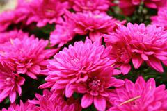 detail of pink chrysanthemum - stock photo