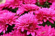 Stock Photo of detail of pink chrysanthemum