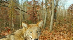 Coyote Closeup Stock Footage