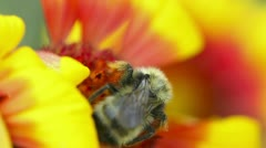 Bumblebee at work. Stock Footage