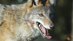 Coyote Bloody Face Stock Footage