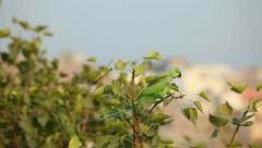 Rose-ringed Parakeet Stock Footage