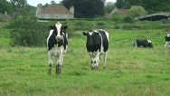Cows (1) Stock Footage
