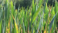 Wheat growing Stock Footage