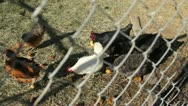 Chickens behind a chain link fence Stock Footage