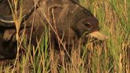 African Buffalo eating in Slow Motion GFHD Stock Footage
