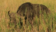 Buffalo eating long grass in the Kruger National Park GFHD Stock Footage
