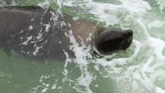 Cape Fur Seal in SloMo 01 GFHD Stock Footage