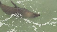 Seal swimming in Slow Motion near Kelp Forest GFHD Stock Footage