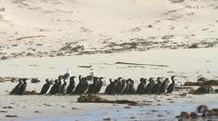 Cape Cormorants Huddled together on the Beach GFHD - stock footage