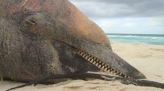 Dead Dolphin on Beach CU GFHD Stock Footage