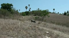 Wild buffalo at Komodo island Stock Footage