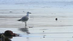 Hartlaubs Gull standing in water next to Kelp GFHD - stock footage